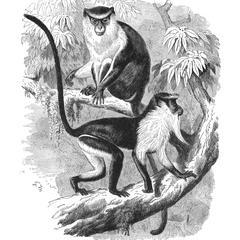 The Mona Monkey and Diana Monkey (1/8 nat. size)
