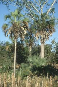 Sabal rosei palm with a fig tree, west of La Palomita