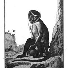 Le Roloway ou la Palatine (Roloway monkey of Palatine)
