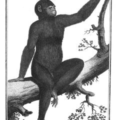 Jeune Pongo ou Orang-outang de la grande espece (Juvenile orangutan great species)