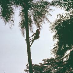 Man Fetching Palm Wine from a Tree