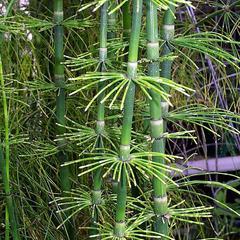 Equisetum giganteum - shoot
