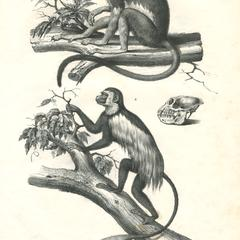 Tamarin and Guereza Print