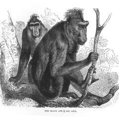 The Black Ape (1/6 nat. size)