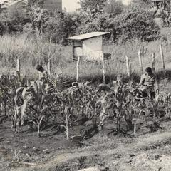 Two Houei Kong trainees inspect the corn at the IVS demonstration garden in Attapu Province