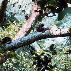 Saguinus fuscicollis