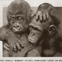 Gorilla and Chimpanzee Print