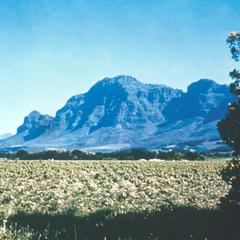 Vineyards between Paarl and Stellenbosch