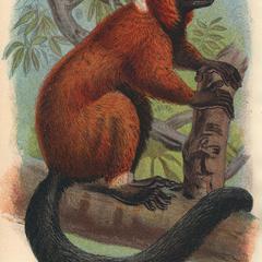 The Red-Ruffed Lemur