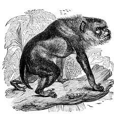 The Bhunder (Papio rhesus)