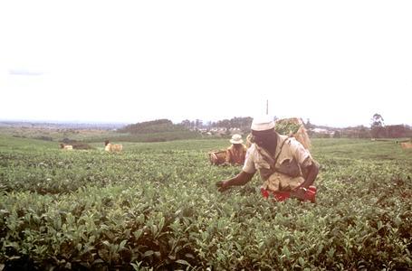 Tea Pickers near Mt. Mlanje