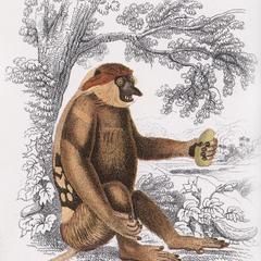 Seated Proboscis Monkey Print