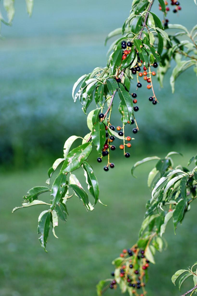 Prunus serotina - fruiting branch