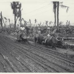 Water buffaloes, Leyte, 1945