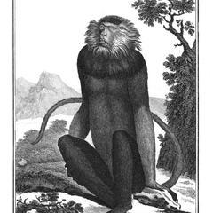 Le Douc Vu de face (Douc Langur, front view)