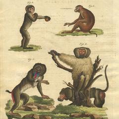 Mandrill, Hamadryas Baboon, Gibbon, and Barbary Macaque Print