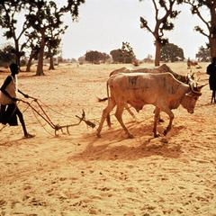 Farmer Plowing Dry Soil with Oxen