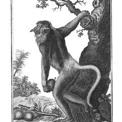La Guenon a long nez, vue de profil (Guenon with a long nose, profile view)