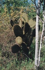 Prickly Pear Cactus (Opuntia echios)