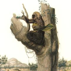 Parauacu (Saki monkey)
