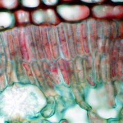 Palisade mesophyll in cross section of a leaf of Nerium oleander