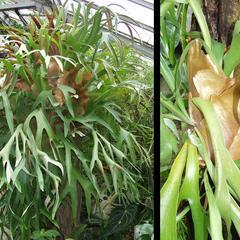 Staghorn fern, Platycerium bifurcatum
