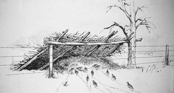 Bobwhite at winter shelter