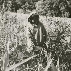 Nyaheun woman harvests rice in her highland rice field in Attapu Province