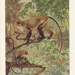 The Guenon