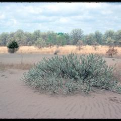 Prunus pumila on dune, Blue River State Scientific Area