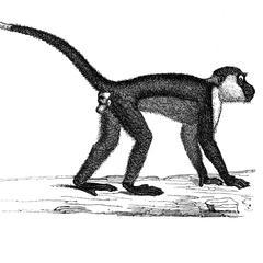 Mangabey femelle